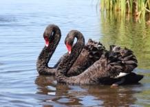 Black-Swan-as280-280x200